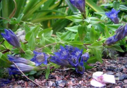 душица: лечебные свойства и противопоказания к использованию растения